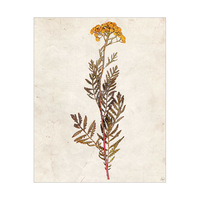 Dry Yellow Tansy Flower - Tan