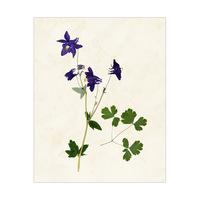 Flower Columbine