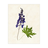 Flower Larkspur