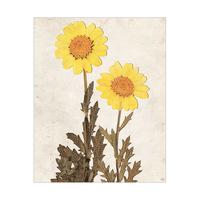 Dry Yellown Sunflowers - Tan